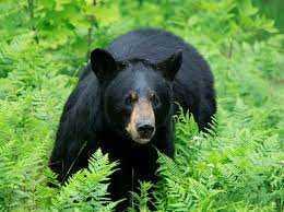 Seorang Wanita Dimangsa Beruang