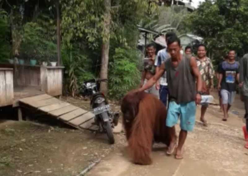 Viral Orang Utan Masuk Perkampungan, Warga Beri Makan