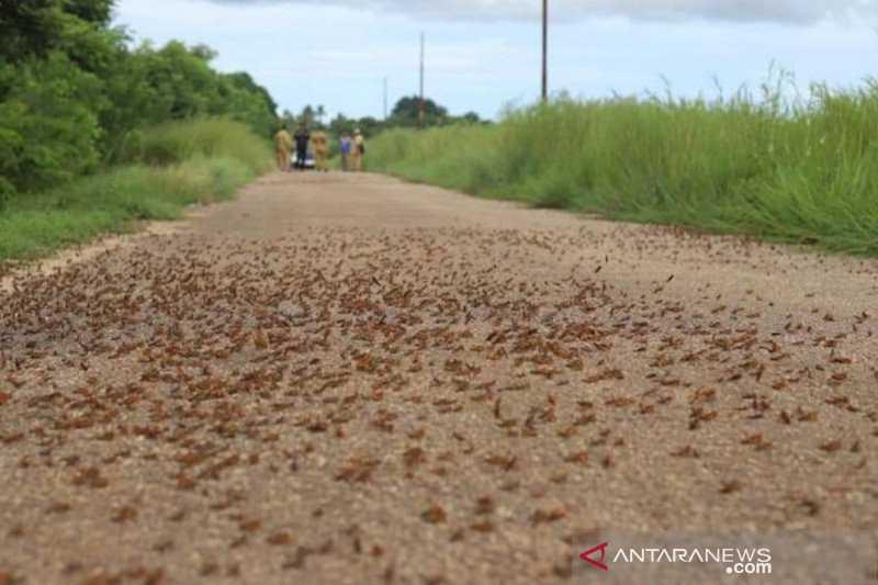 Waduh Sampai Begini Ganasnya, Hama Belalang Kumbara Masih Serang Desa di Sumba Barat Daya
